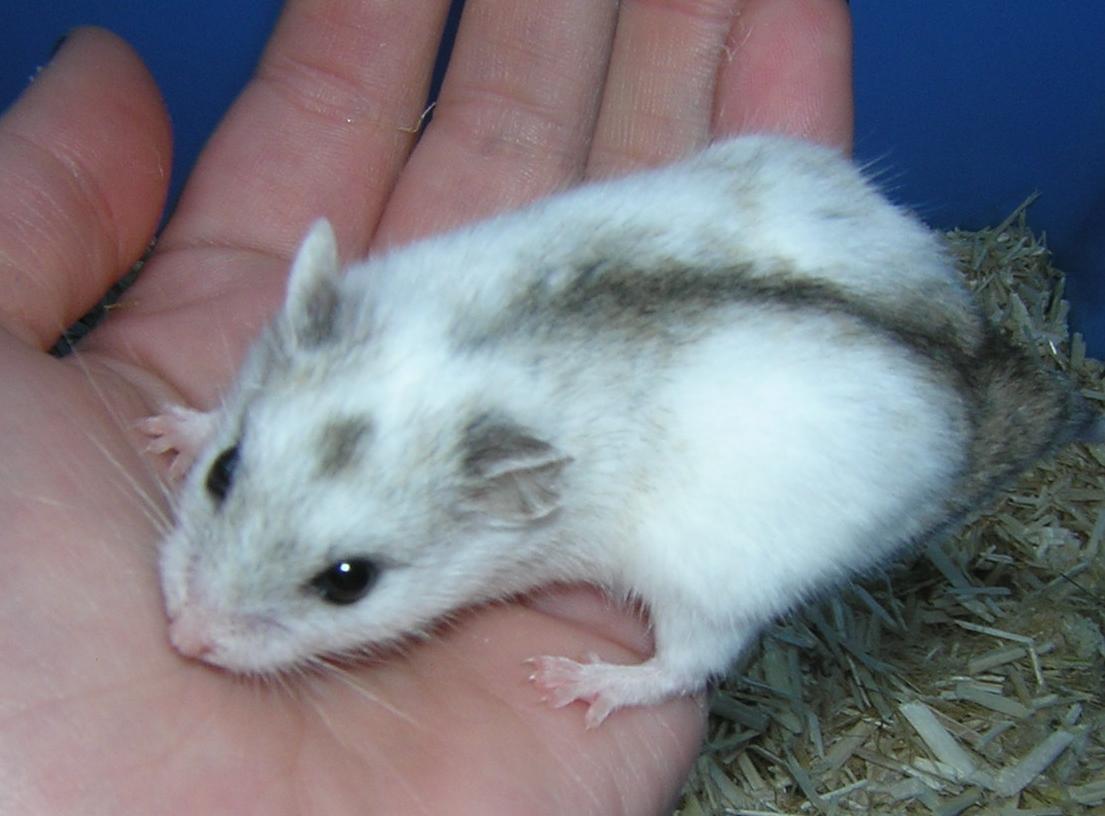 Hamster nain: un bon animal de compagnie